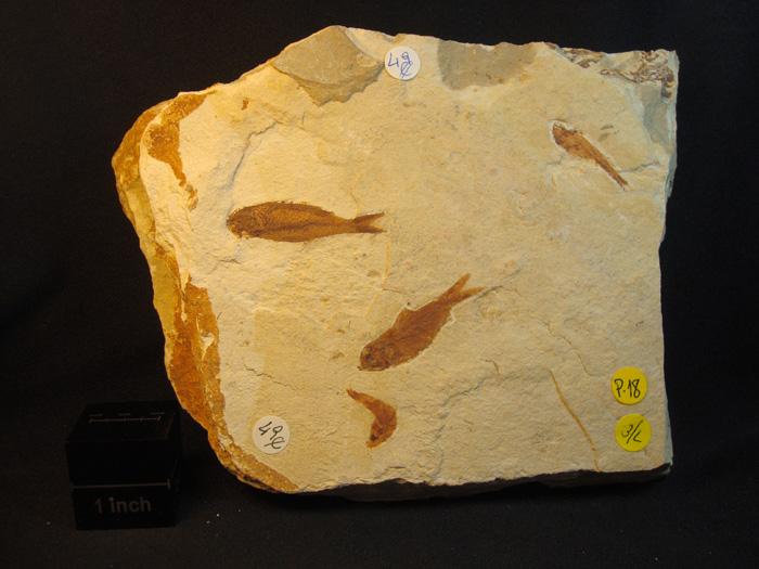 Armigatus brevissimus (De BLAINVILLE,1818) Armigatus (L.GRANDE,1982)
