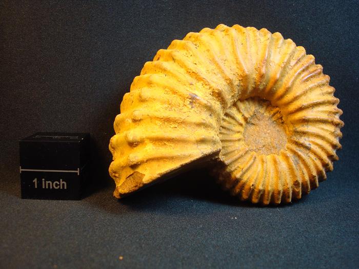 Douvilleiceras mammillatum (Schlotheim,1813)