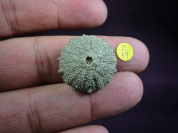 Gymnocidaris Atchanensis (VADET, NICOLLEAU & REBOUL, 2010)
