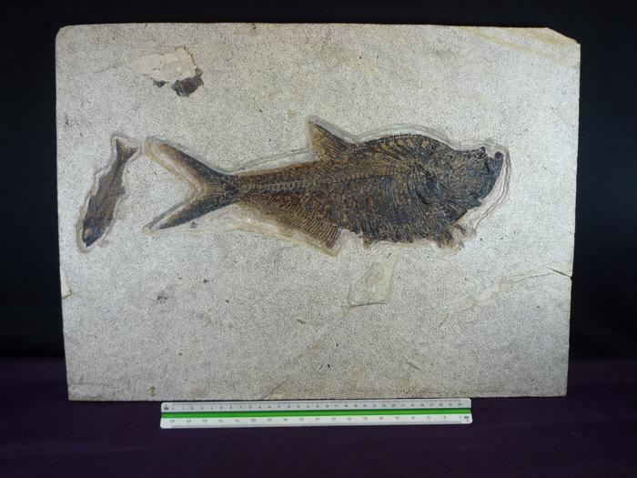 Diplomystus  dentatus(EDWARD  DRINKER COPE,1887),Diplomystus(COPE,1887) Mioplosus labracoides (COPE,