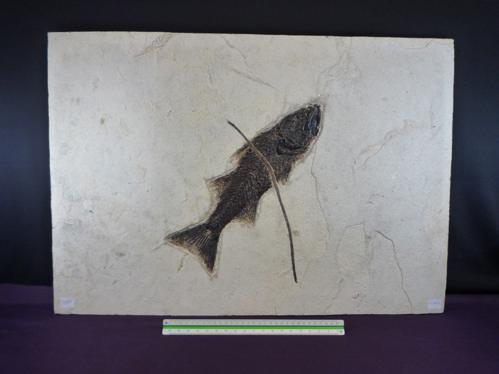Mioplosus labracoides (COPE,1877)