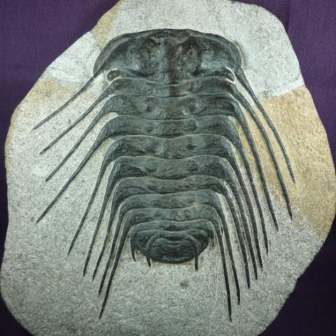 Selenopeltis buchii (Barrande,1846) Selenopeltis (Hawle & Corda,1847) Orden:Lichida (Moore,1959) Sub-orden:Lichina (Moore,1959) Super-familia:Odontopleuroidea (Moore,1959) Familia: Odontopleuridae (Moore,1959) REF: CC2