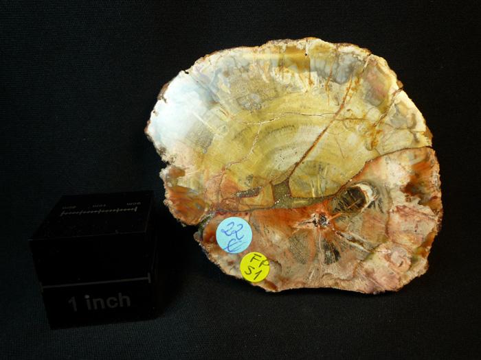Loncha de tronco fósil