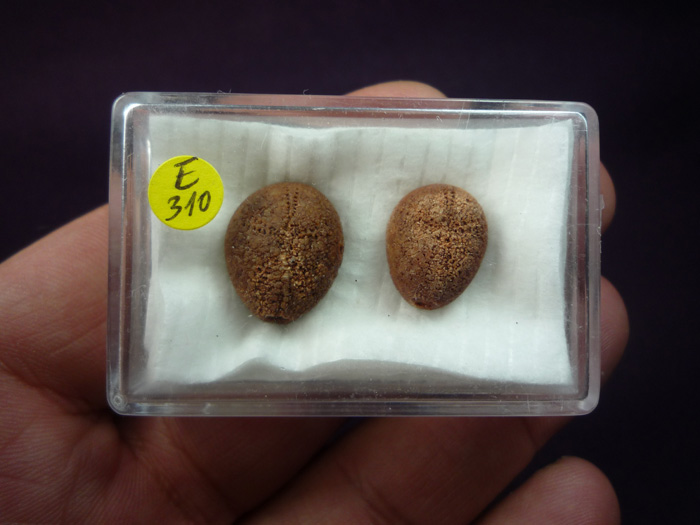 Cardabia bullarensis   (FOSTER & PHILIP,1978)