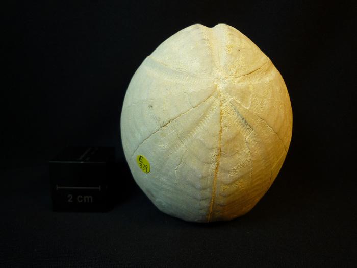 Hemipneustes striatoradiatus