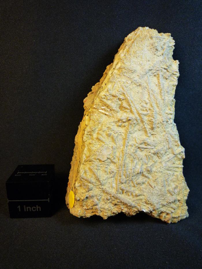 Stereocidaris figueirensis (Loriol,1887-1888)