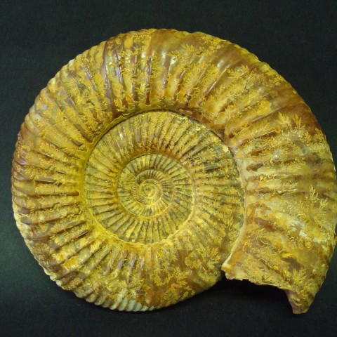 ANMONITES Perisphinctes (Perisphinctes) sp.