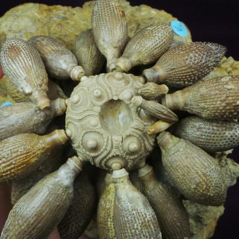 Erizos fósiles - Balanocidaris glandifera