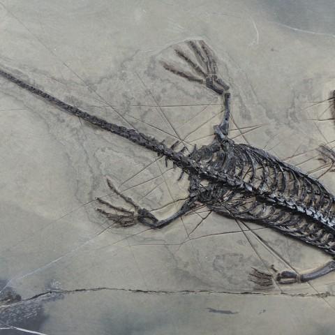 FOSSILES - Keychosaurus hui