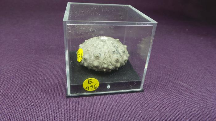 Gymnocidaris atchanensis