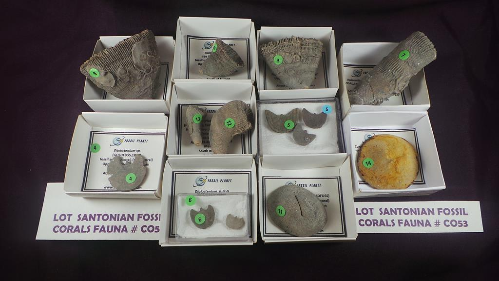 Interesante, variado y completo lote de colección con varias especies de corales fósiles de la fauna
