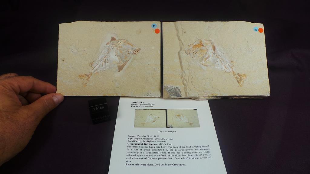 Coccodus insignis(PICTET,1850)