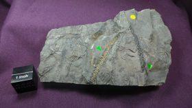 Sphenophyllum (Bowmanites) incisum (WAGNER) Sphenophyllum (KOENING,1825)