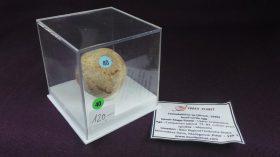 Testudolithus sp.(HIRSCH,1996),huevo fósil de tortuga