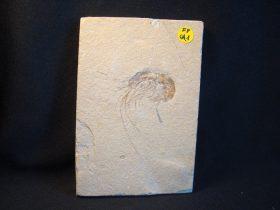 Carpopenaeus callirostris (GLAESSNER,1946)
