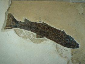 Notogoneus osculus (COPE,1865) Notogoneus osculus (PERKINS,P.1970)