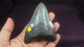 Carcharocles(carcharodon)megalodon (AGASSIZ,1843)
