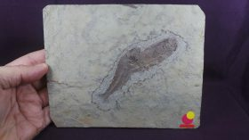 Lycoptera davidi, Prolevias davidi (H.E.SAUVAGE,1880) Lycoptera(Müller,1847) 戴氏狼鰭魚