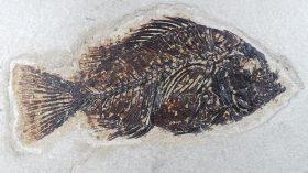 Priscacara liops(COPE,1877)