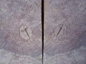 Odontopleura (Sinespinaspis) markhami (Edgecombe & Sherwin,2001)