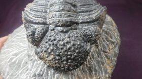 Drotops megalomanicus  megalomanicus (STRUVE,1995)