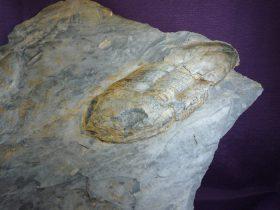 Ectillaenus Giganteus(BURMEISTER,1843)