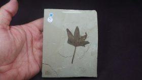 Acer lesquereuxi(KNOWLTON) Acer(C. Linnaeus,1753) NO DISPONIBLE