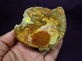 loncha de tronco fósil, xilópalo