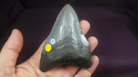 Carcharocles(carcharodon)megalodon (AGASSIZ,1843)