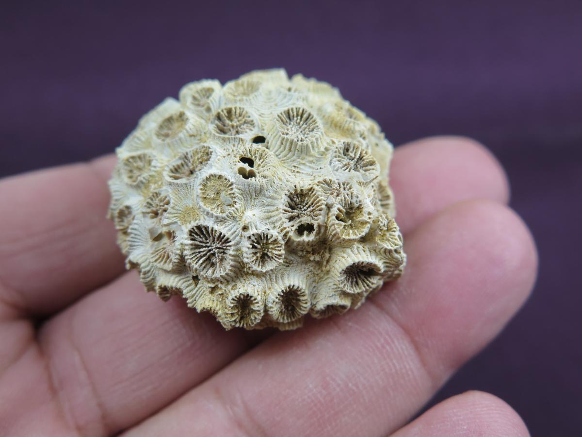31 x 17 x 7 mm  ....... Fossil Coral cab .... B4985